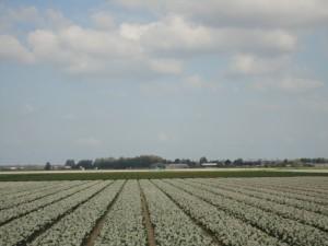 一般道からのチューリップ畑